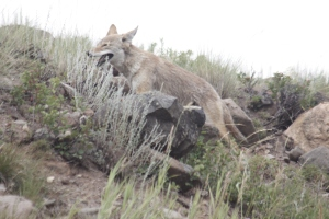 One hot coyote in Yellowstone.