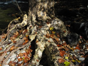 Sycamore trunk in Smokey Mountain National Park