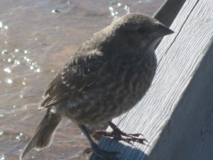 Friendly and calm little bird that landed at my elbow in Yellowstone's West Thumb Geyser Basin