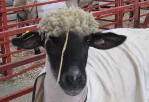 It is fair time and everything needs to look its best. take this pretty sheep!