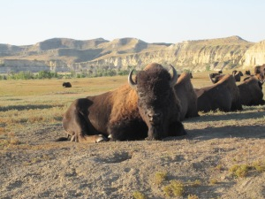 Bull Buffalo at Theodore Roosevelt National Park South Unit