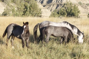 A young wild horse stallion, his mother and sister in Rosevelt National Parks South Unit