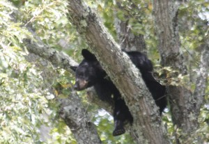 Cades Cove in Smokey Mountain National Park Haven't you seen a bear in a tree before?