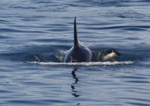 An Orca (Killer Whale) Mother and her calf in the san Juan Islands off Washington state.